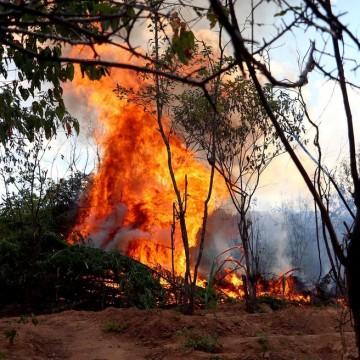 Polícia Federal destrói mais de 550 mil pés de maconha no sertão de Pernambuco