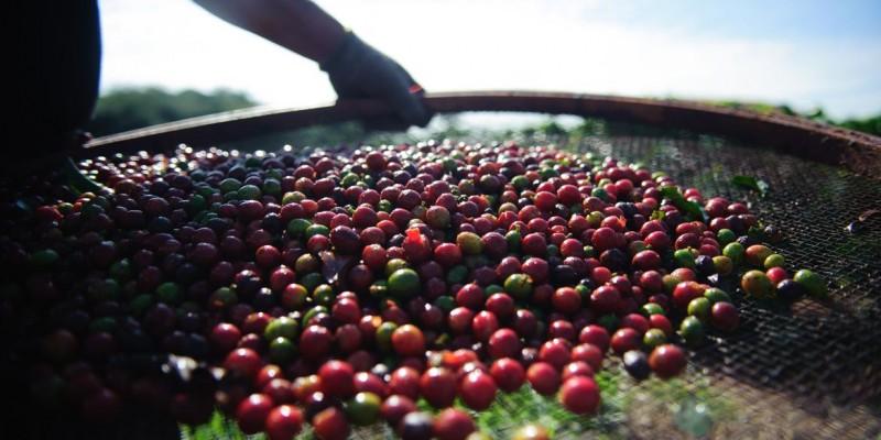 De acordo com a Companhia Nacional de Abastecimento (Conab), a safra atual não deve ultrapassar 48,8 milhões de sacas de 60 kg de grãos