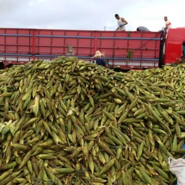 Ceasa define plantão do milho para impulsionar vendas no São João
