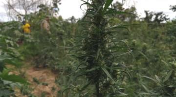 PF e PM erradicam plantios de maconha em Cabrobó