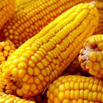Boa safra permite queda no preço do milho durante período junino