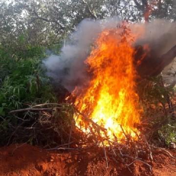 Operação destrói plantação de maconha no Sertão pernambucano