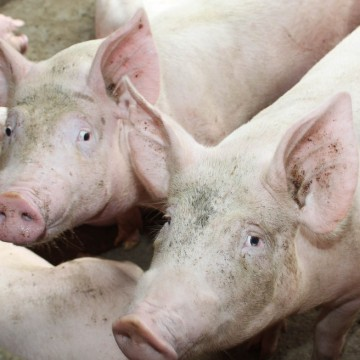 Adagro alerta para casos da peste suína no Piauí