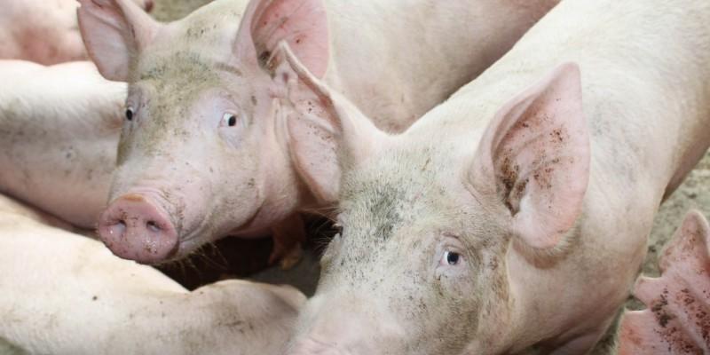 Pernambuco não registra casos da doença há 19 anos e medidas sanitárias restritivas garantem a integridade do rebanho de suínos