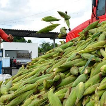 Ceasa anuncia preço baixo do milho verde com a proximidade do São João