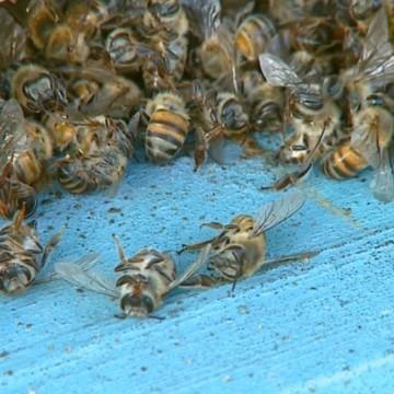 Morte de abelhas em Petrolina é investigada pelo Ministério Público de Pernambuco
