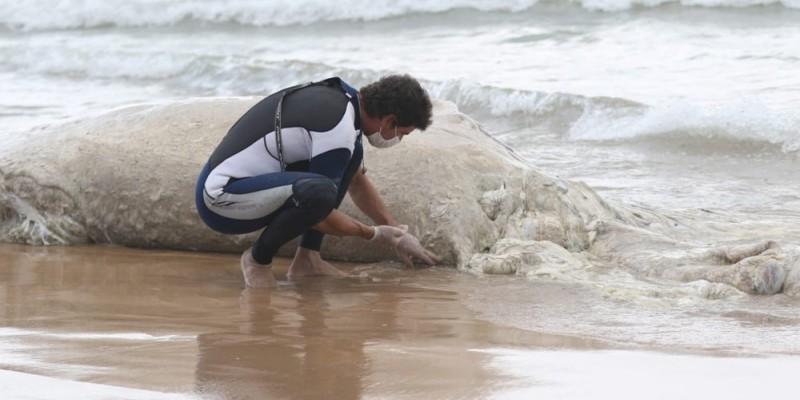 A hipótese mais provável e de que o animal morreu em mar aberto e foi levado pela correnteza