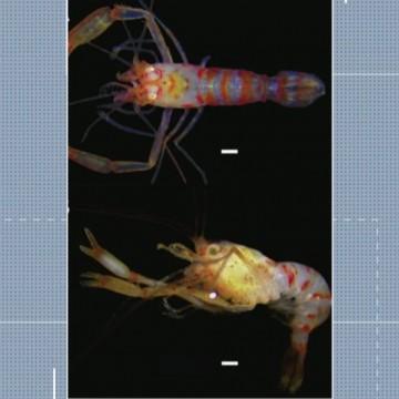 Nova espécie de camarão é encontrado por pesquisadores da UFPE no Litoral Sul do Estado