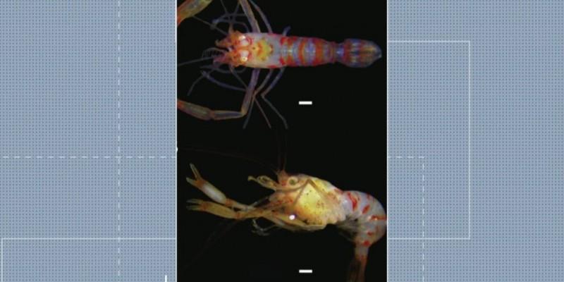 Com pouco mais de um centímetro, o crustáceo recebeu o nome de Chico Science, em homenagem ao cantor pernambucano que morreu em 1997