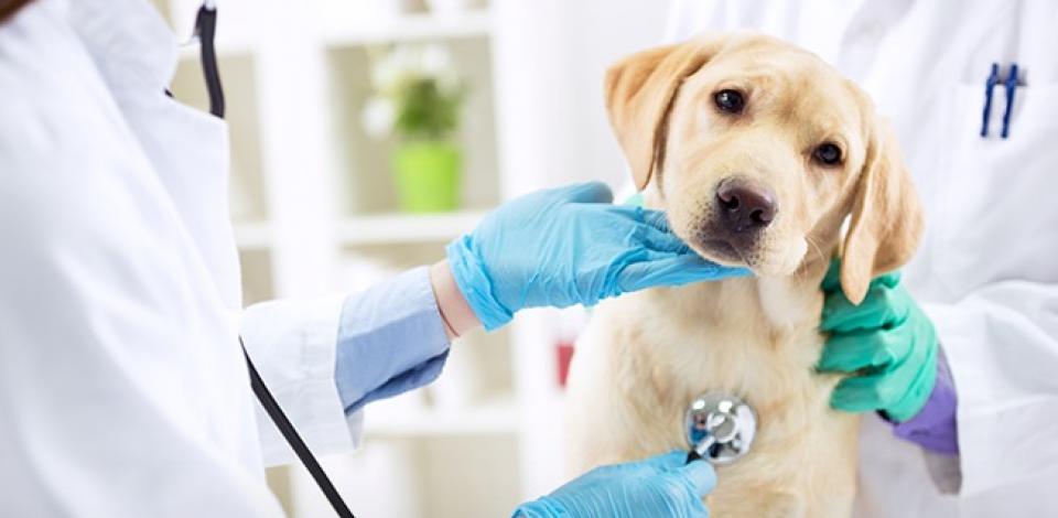 AME Animal abre inscrições para curso de Auxiliar Veterinário
