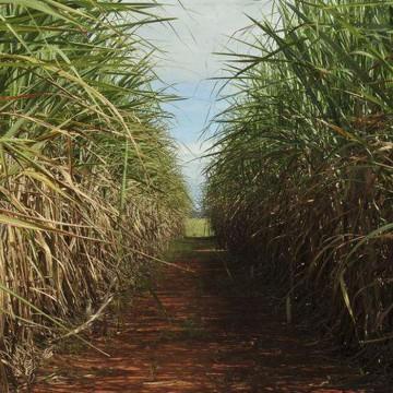Produção da safra atual de cana-de-açucar deve crescer 3,5%, diz Conab