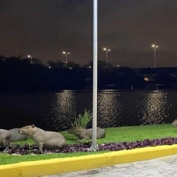 Em meio a pandemia, capivaras voltam as margens do Rio Capibaribe