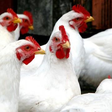 Dificuldades, expectativas e atual situação do setor avícola em Pernambuco