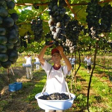 Produção de vinho cresce 10% no Sertão