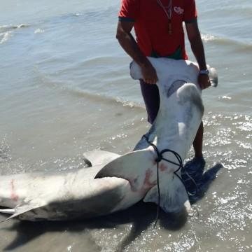 Tubarão-martelo é localizado na praia de Maria Farinha