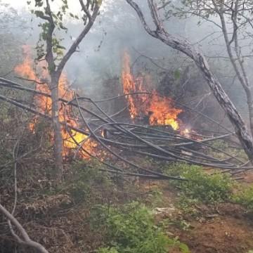 PF erradica mais de 100 mil pés de maconha no sertão pernambucano