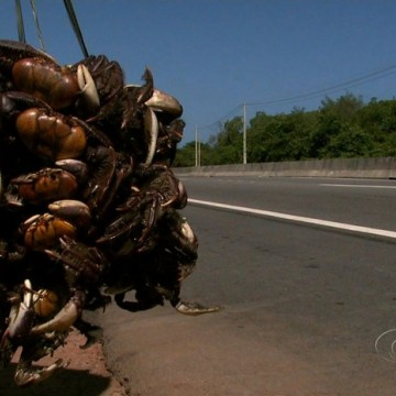 Captura do caranguejo-uçá está proibida em Pernambuco e mais 11 estados