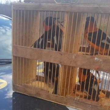 PRF apreende 20 pássaros silvestres, em Pesqueira, no Agreste de PE