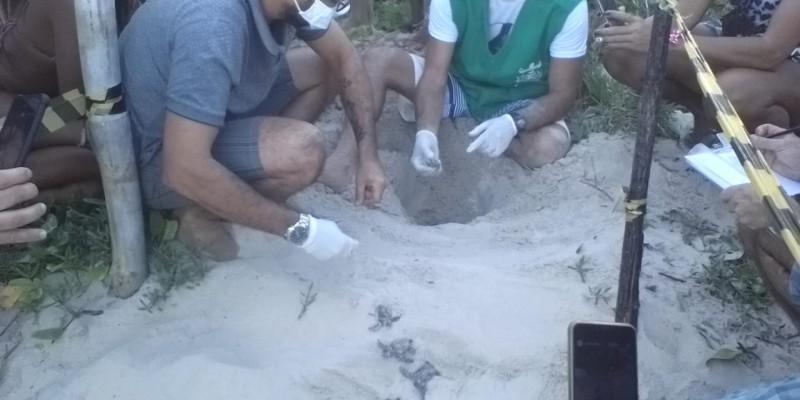 Além do ninho eclodido em Enseada dos Corais, existe outro na mesma praia e mais outros dois ninhos em acompanhamento na praia do Paiva