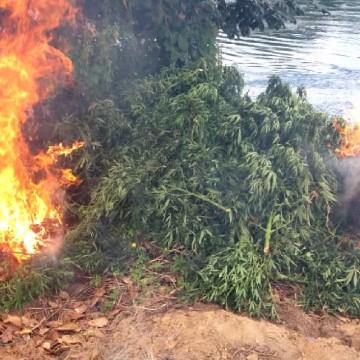 Plantio de maconha é destruído no Sertão de Pernambuco