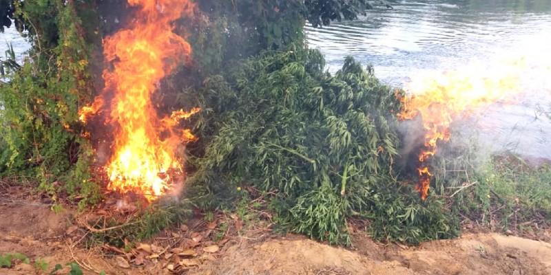 Segundo cálculos da Polícia Federal, foram queimados 4.561 pés, além de 400 mudas de maconha