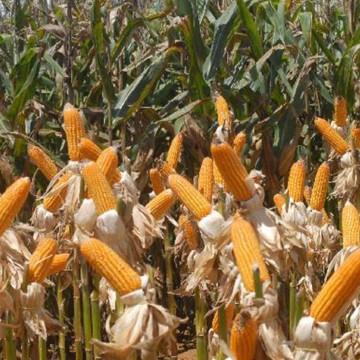 Governo autoriza Conab a comprar milho para pequenos produtores