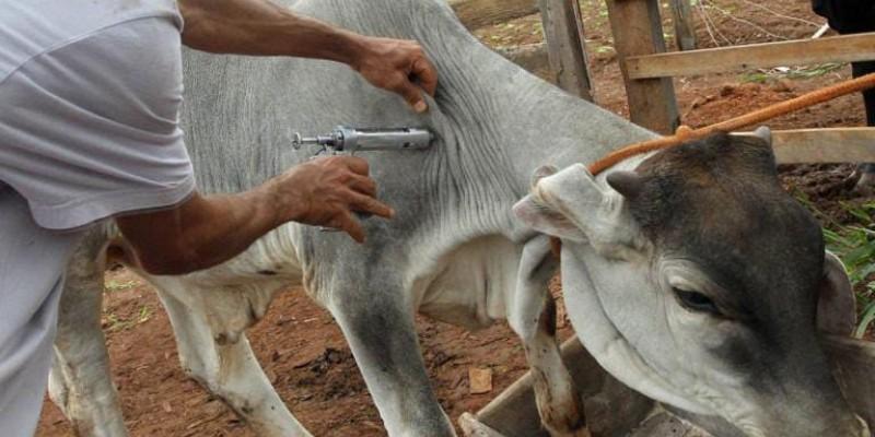 Quem não vacinar seu rebanho ou não declarar a imunização poderá pagar multa e ficar impedido de comercializar a carne no município e região