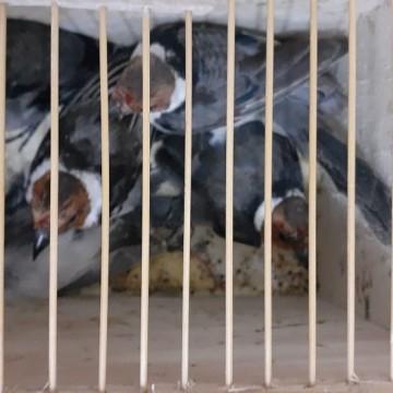 Casal é multado por transportar 151 pássaros silvestres