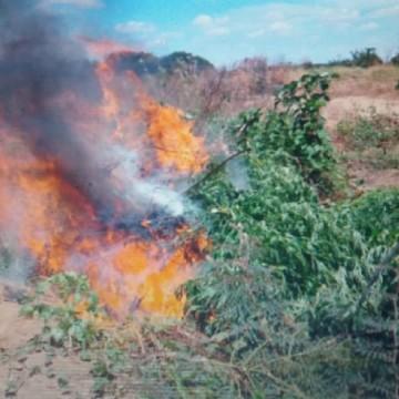 Mil e sessenta e dois pés de maconha são destruídos em Cabrobó