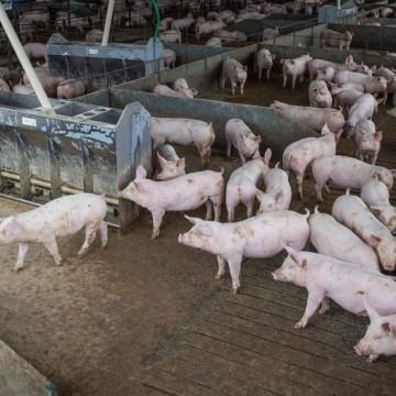 Abate de suínos e frangos cresceu no quarto trimestre de 2020