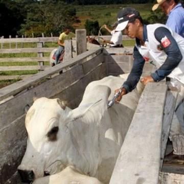 Pernambuco imuniza 93% do rebanho contra a febre aftosa