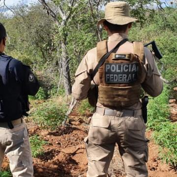 Polícia erradica 146,3 mil pés de maconha no Sertão de Pernambuco