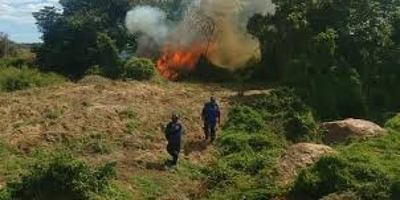 Durante dois dias Policiais Federais e Policiais Militares (2ª CIPM), conseguiram erradicar 11 plantios de maconha que estavam localizadas na Ilha do Aracapá e adjacências na zona rural de Orocó/PE