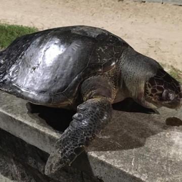 Tartaruga morta foi encontrada na praia de Boa Viagem, na Zona Sul do Recife