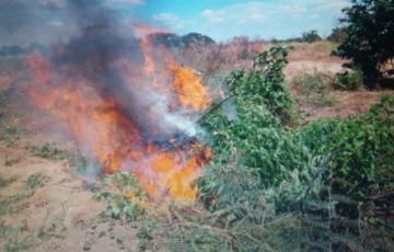 Polícia erradica mais de mil pés de maconha no sertão pernambucano
