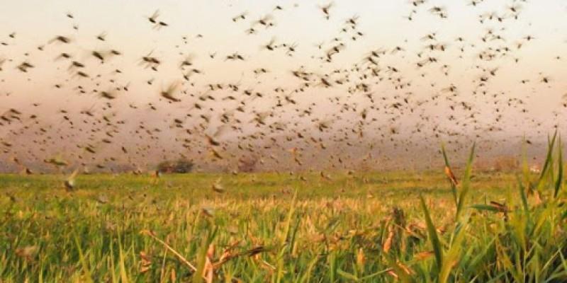 O motivo é a nuvem de gafanhotos que se aproxima do País