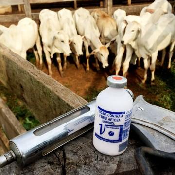 Vacinação contra febre aftosa