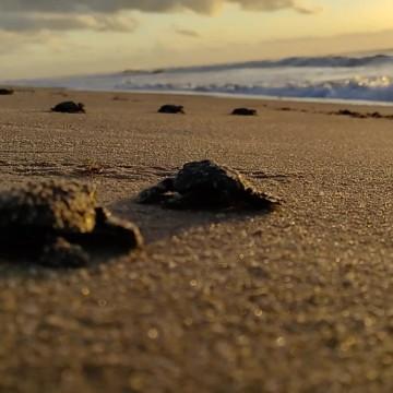 Tartarugas nascem na orla de Jaboatão, no Grande Recife