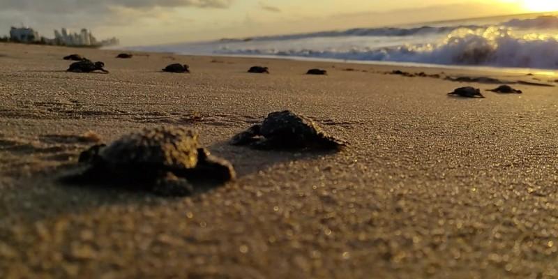 Pelo menos 30 ninhos já foram registrados nas praias do município entre janeiro e julho, o que resultou em 2,6 mil nascimentos de tartaruguinhas na cidade em 2021