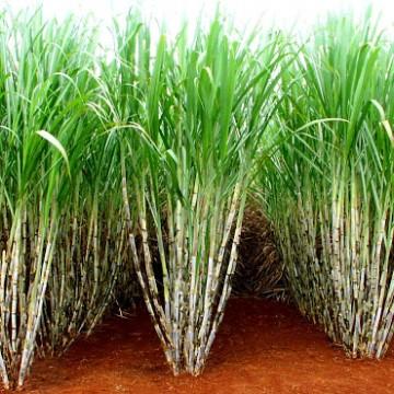 Usinas pernambucanas enfrentam custos elevados para a produção de cana