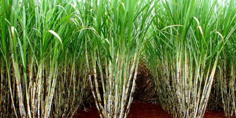 A infestação de pragas nos canaviais e o aumento do dólar estão impactando as atividades dos produtores