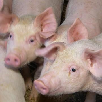 Peste suína pode chegar a Pernambuco
