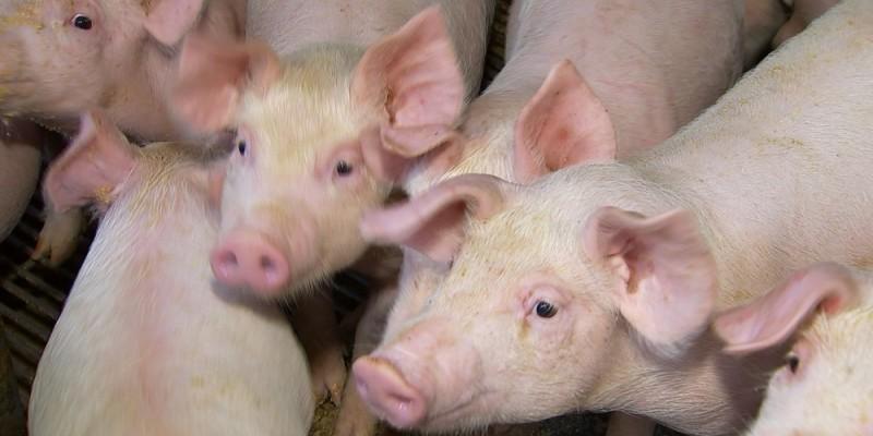 A Adagro faz alerta ao novo foco de peste suína no estado de Alagoas
