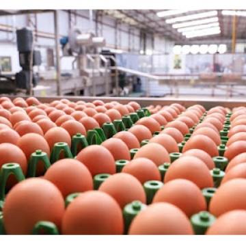 A produção de ovos de galinha no país atingiu a marca de 964,89 milhões de dúzias