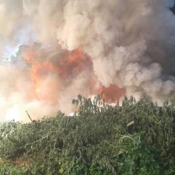 PF erradica 90 mil pés de maconha e apreende mais de uma tonelada da planta no Sertão