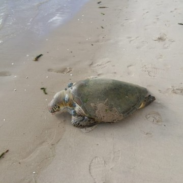 Tartaruga é encontrada morta em Olinda