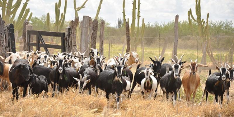 Alta demanda por leite de cabra e carne de bode motiva o interesse pela expansão