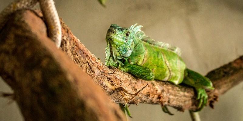 Oito répteis chegaram ao zoológico da capital pernambucana, sendo duas iguanas e seis serpentes