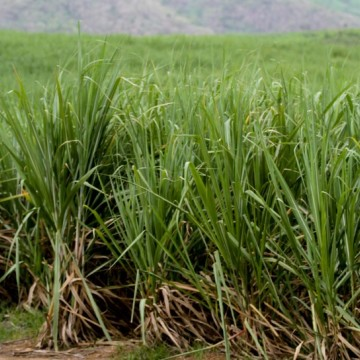 Pernambuco e Paraíba vão mudar processo produtivo da cana-de-açúcar