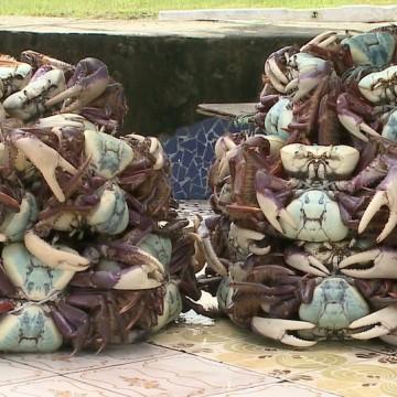 CPRH apreende mais de 500 caranguejos-uçá